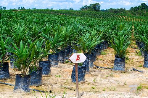 Плантации масличной пальмы