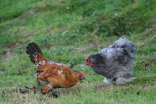 Антибиотики в птицеводстве